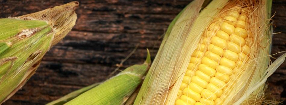 corn gmo slider